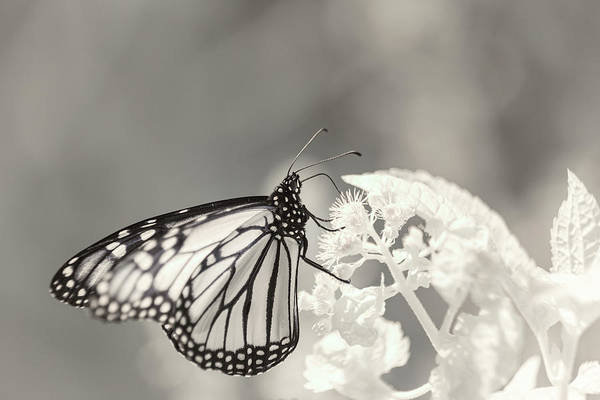 Photograph - Infrared Monarch 3 by Brian Hale