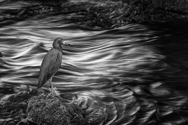 Photograph - Inlet Heron 2 by Steve DaPonte