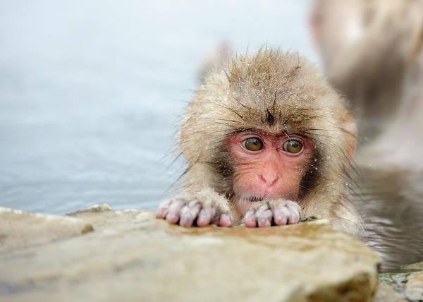 Snow Monkey Photograph - Innocence by By Alan Tsai