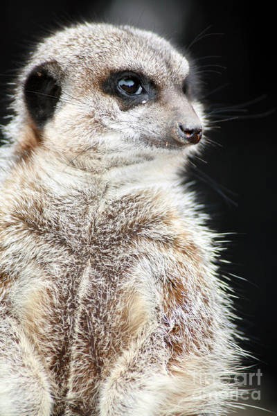 Wall Art - Photograph - Inquisitive Meerkat On The Lookout by Paul Banton