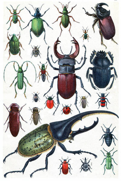 Insects, Beetles And Scarab, Vintage Art Print