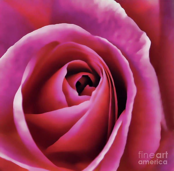 Digital Art - Inside The Pink Rose by D Hackett