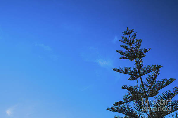 Photograph - Intense Blue Sky Background With A Fir Tree, Copy Space. by Joaquin Corbalan