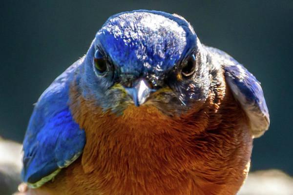 Photograph - Intense Bluebird by Allin Sorenson