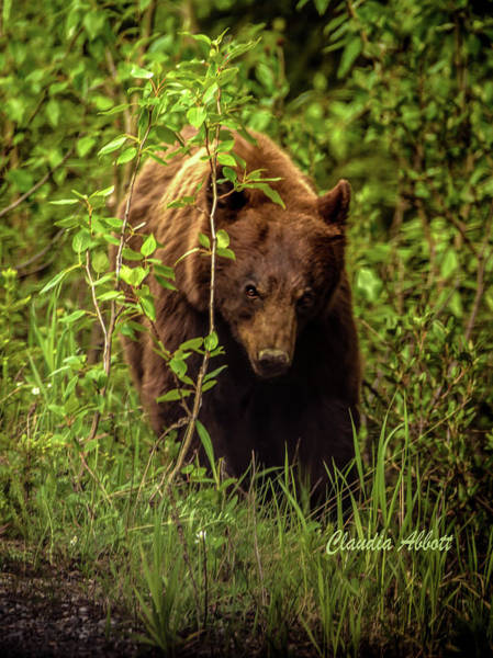 Photograph - Intense Grizzly by Claudia Abbott