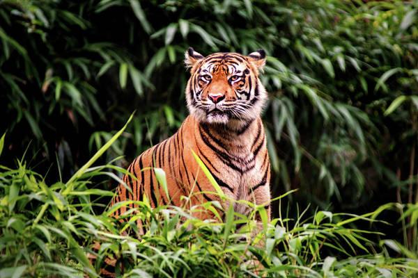 Photograph - Intense Tiger by Don Johnson