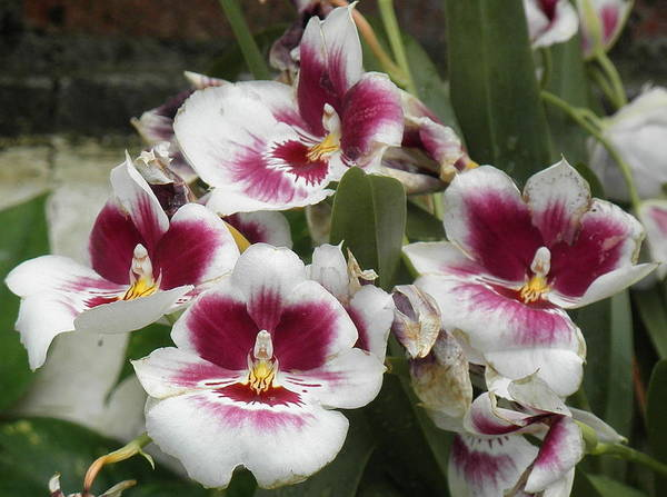 Photograph - Interesting Orchids by Barbara Keith