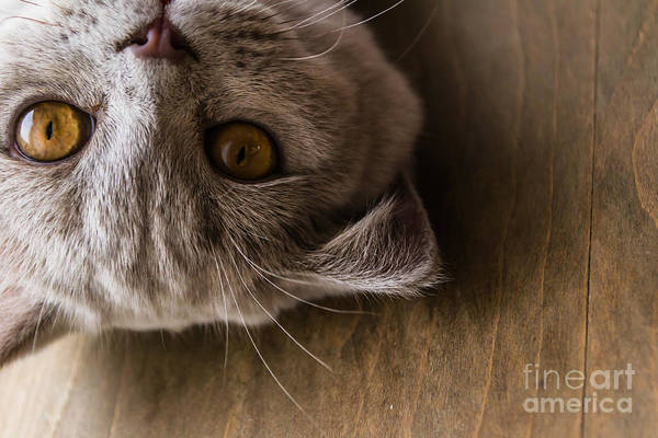 Wall Art - Photograph - Interests Of The British Cat by Ekaterina Sopelnik