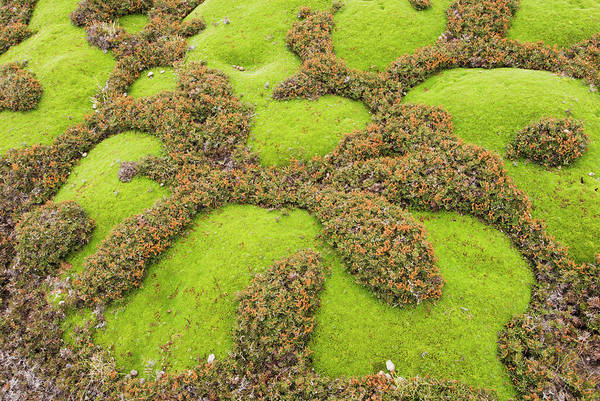 Jerusalem Photograph - Intergrowing Alpine Cushion Plant And by Grant Dixon