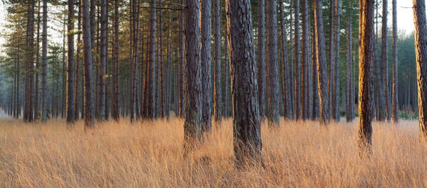 Pine Tree Photograph - Interior Of A Pine Forest, Dorset by Travelpix Ltd
