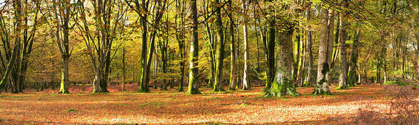 Wall Art - Photograph - Interior Of Beech Forest, Hampshire by Travelpix Ltd