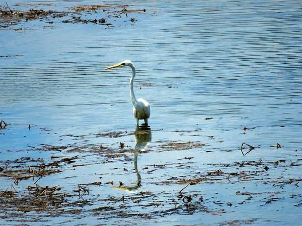 Photograph - Intermediate Egret At Lake Pat 2 by Joan Stratton