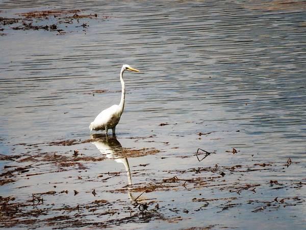 Photograph - Intermediate Egret At Lake Pat 3 by Joan Stratton