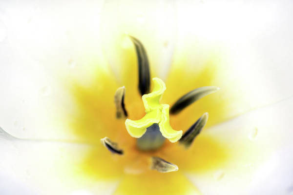 Photograph - Internal Tulip by Don Johnson