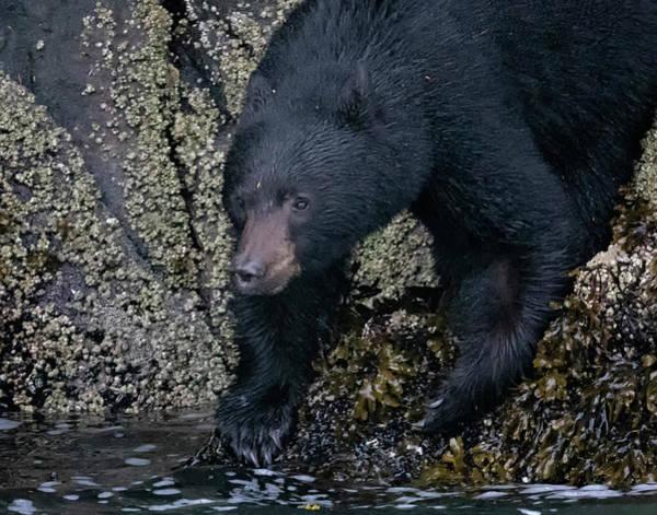 Photograph - Intertidal Black Bear by Randy Hall