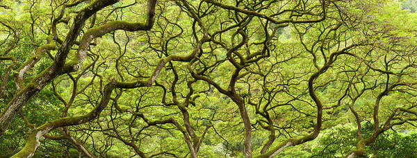 Wall Art - Photograph - Intertwining Branches In A Jungle Canopy by Stuart Mccall