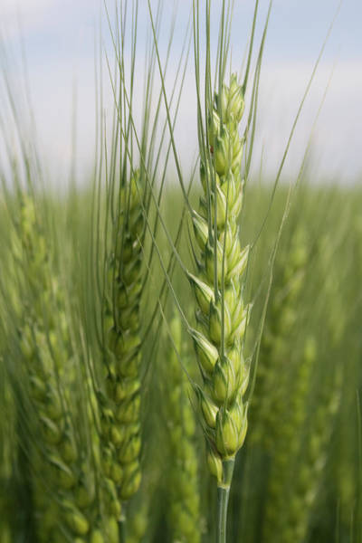 Photograph - Intimate Bearded Wheat by Dylan Punke