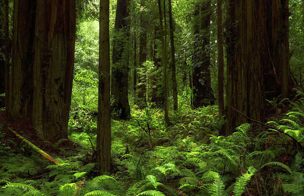 Photograph - Into The Forest Horizontal - Redwood National Park by TL Mair