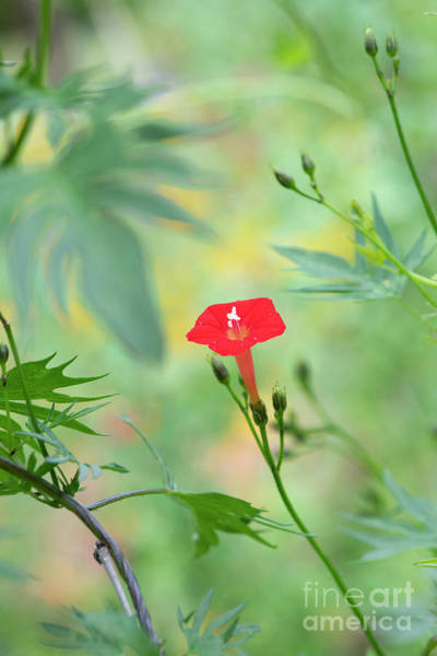Photograph - Ipomoea Coccinea Flower by Tim Gainey