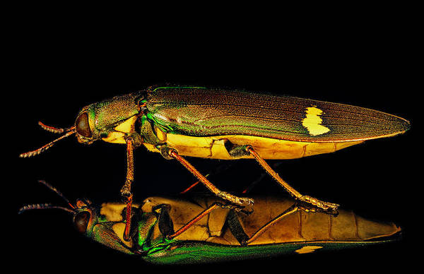 Photograph - Iridescent Jewel Beetle by Gary Shepard