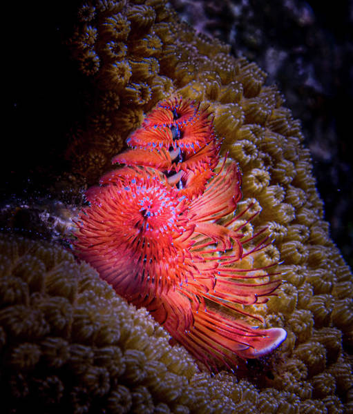 Photograph - Iridescent Tube Worm by Jean Noren