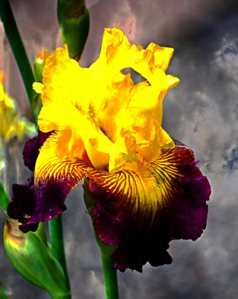 Photograph - Iris 5 by Marty Koch