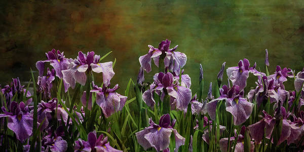 Photograph - Iris Bed 1913 Idp_2 by Steven Ward