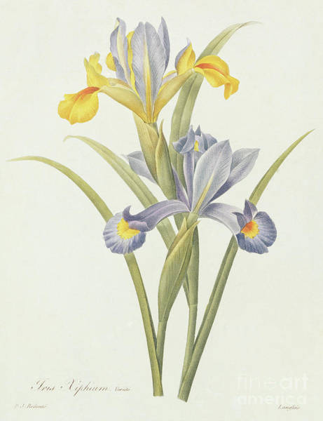Wall Art - Drawing - Iris By Redoute by Pierre-Joseph Redoute