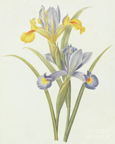 Wall Art - Painting - Iris  Color Engraving by Pierre-Joseph Redoute