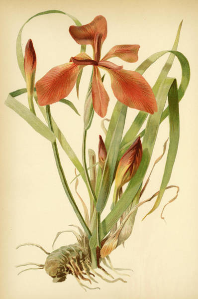 Mixed Media - Iris Cuprea Copper Iris.  by Unknown