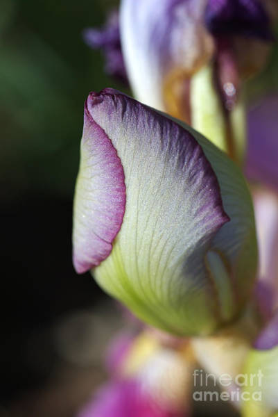 Photograph - Iris Forming New Life by Joy Watson