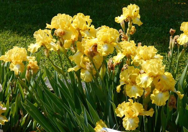 Photograph - Iris Garden by Barbara Keith