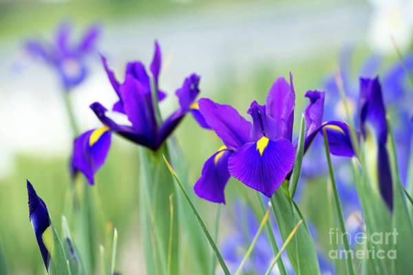 Photograph - Iris Hollandica Salvatore Flowers by Tim Gainey