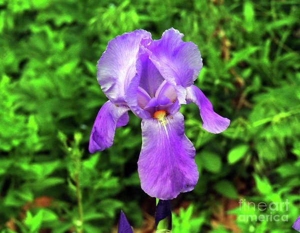 Wall Art - Photograph - Iris In Bloom by Jeff Swan