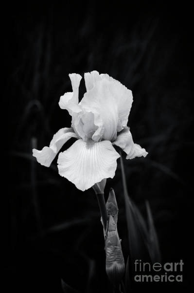 Photograph - Iris Piroska by Tim Gainey