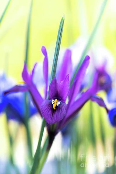 Photograph - Iris Reticulata J.s. Dijt Flower by Tim Gainey
