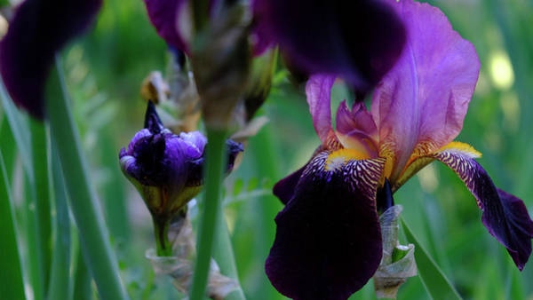 Photograph - Iris Season by August Timmermans