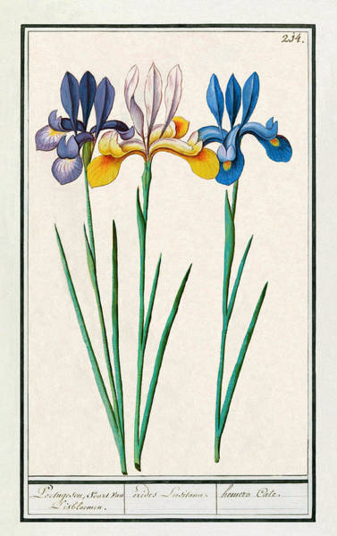 Digital Art - Iris Sibirica by Ruth Moratz