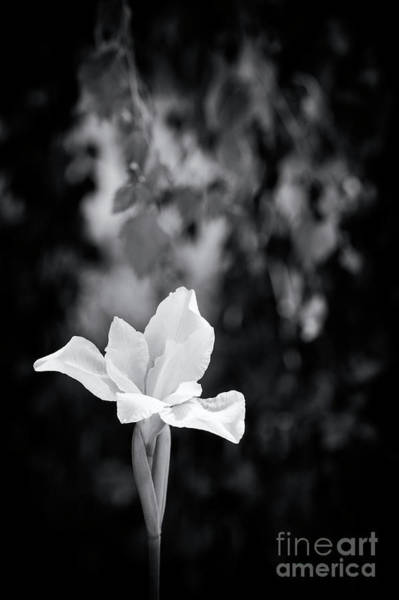 Photograph - Iris Sibirica White Swirl Monochrome by Tim Gainey