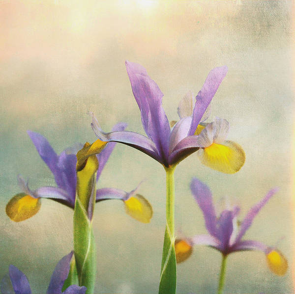 Photograph - Iris Sunrise  by Connie Handscomb