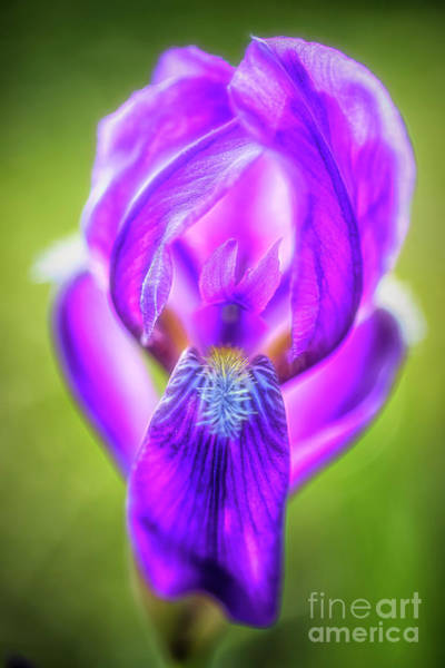 Wall Art - Photograph - Iris by Veikko Suikkanen