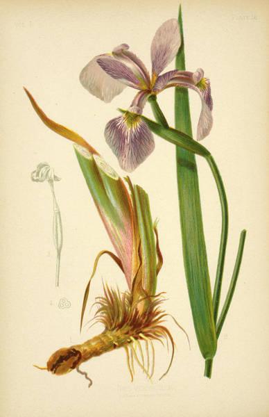Iris Versicolor Blue Flag Art Print