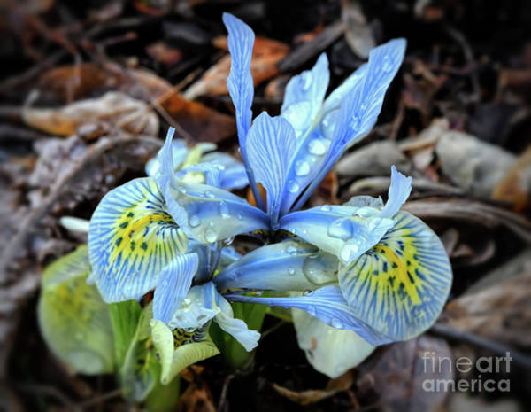 Photograph - Iris With Droplets  by Kerri Farley