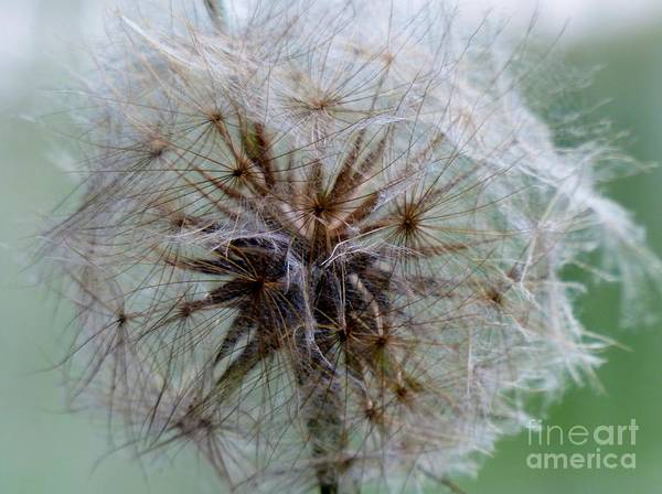 Photograph - Irish Daisy by Rosanne Licciardi