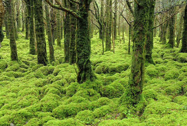Killarney Photograph - Irish Forest, Muckross Lake, Kilarney by Jvoisey
