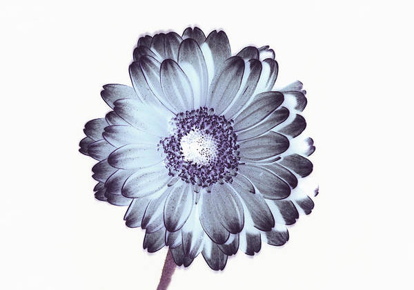 Daisy Photograph - Irridescent Flower Study by Ade Groom
