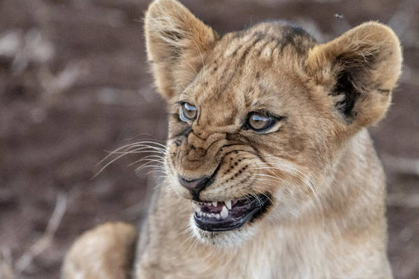Photograph - Irritated Lion Cub by Mark Hunter