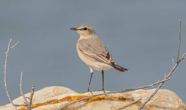 Wall Art - Photograph - Isabelline Wheatear by Morris Finkelstein