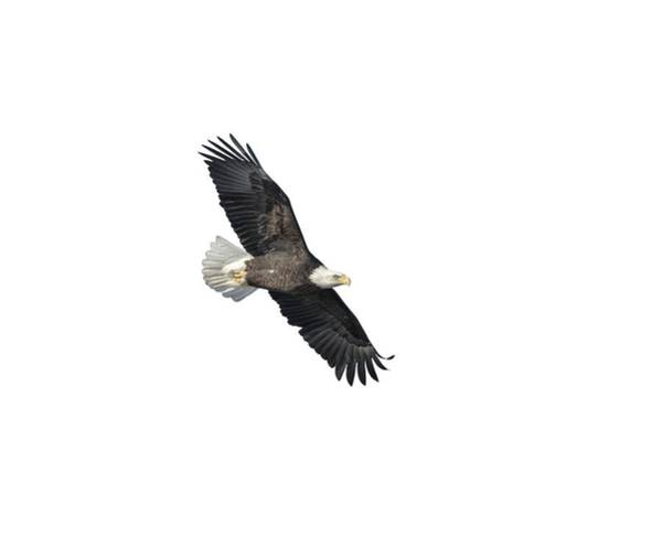 Photograph - Isolated Bald Eagle 2018-2 by Thomas Young