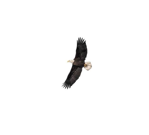 Photograph - Isolated Bald Eagle 2018-5 by Thomas Young